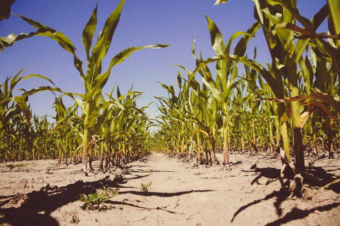Kenya imposes ban on maize imports from Tanzania and Uganda