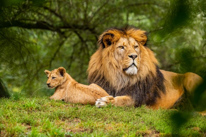 Six lions found dead and dismembered in Uganda National Park